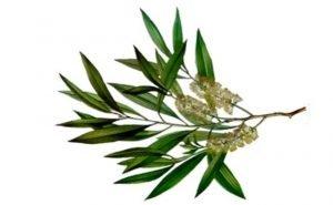 tea tree oil for gingivitis