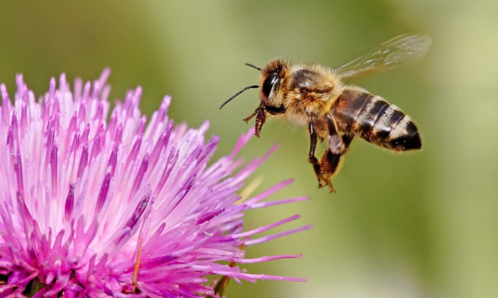 Bees pollinate plants to increase and spread the production of foods.